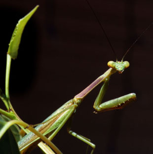 Outdoor and Nature Photography - Praying Mantis - Preston Images