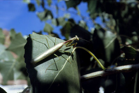 Photograph of Praying Mantis